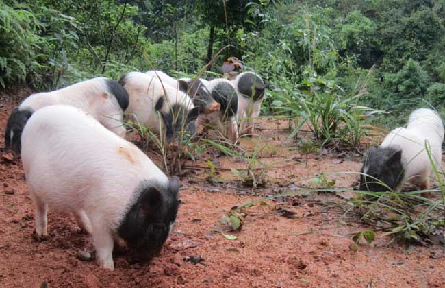 香猪养殖成本和利润