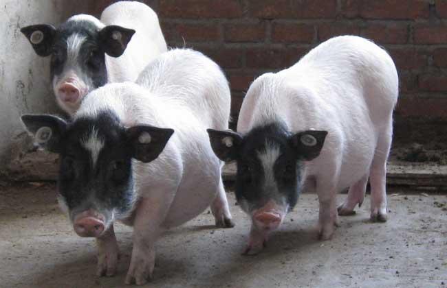 巴马香猪养殖技术
