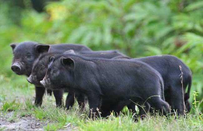 藏香猪养殖技术