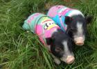 香猪寿命多长?