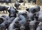 融水黑香猪养殖技术