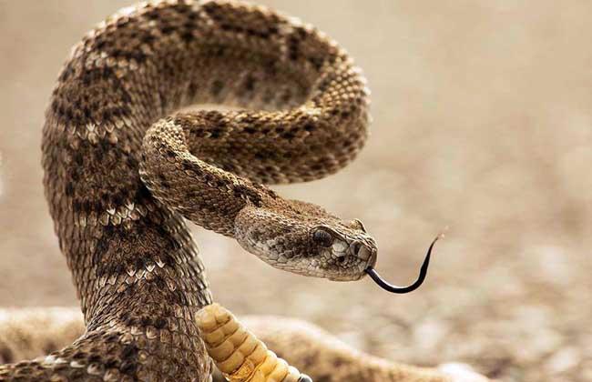 响尾蛇尾巴为什么会响