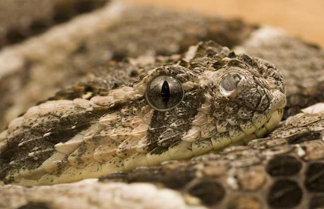 响尾蛇吃什么食物