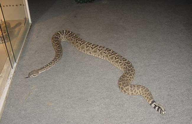 响尾蛇的毒性有多大