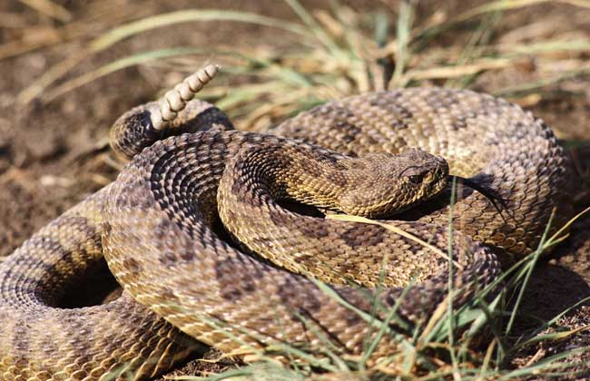响尾蛇种类图片大全