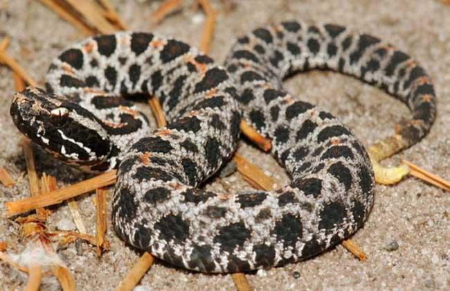 响尾蛇的毒性有多大?