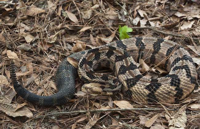 响尾蛇尾巴有什么作用