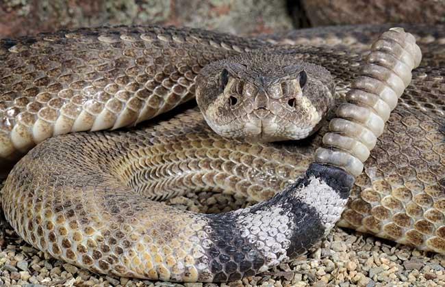 响尾蛇的天敌是什么?