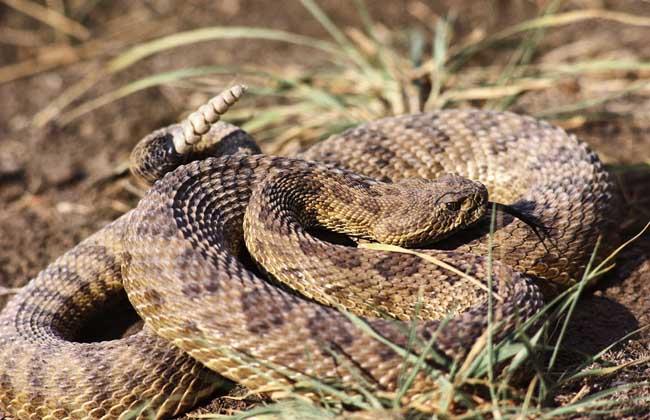 响尾蛇分布在哪里?