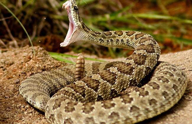 被响尾蛇咬了怎么办?