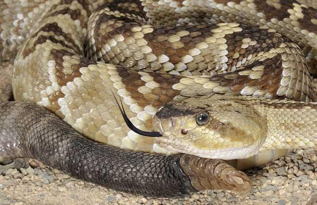 响尾蛇的生活习性