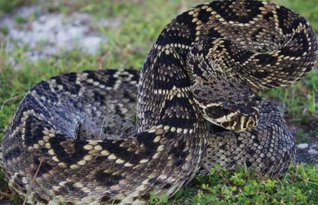 东部菱背响尾蛇