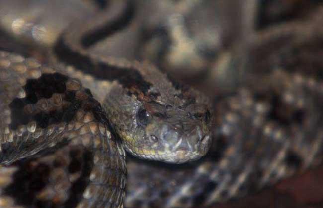 南美响尾蛇