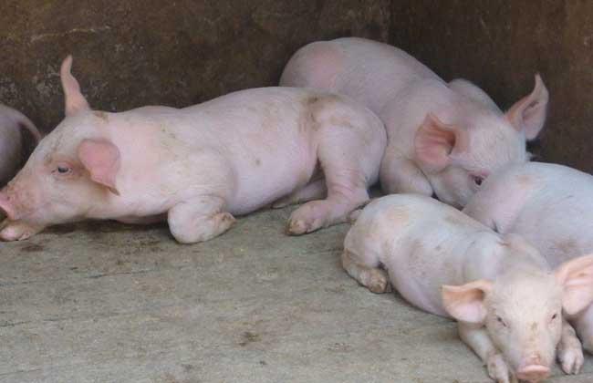 生猪补贴政策