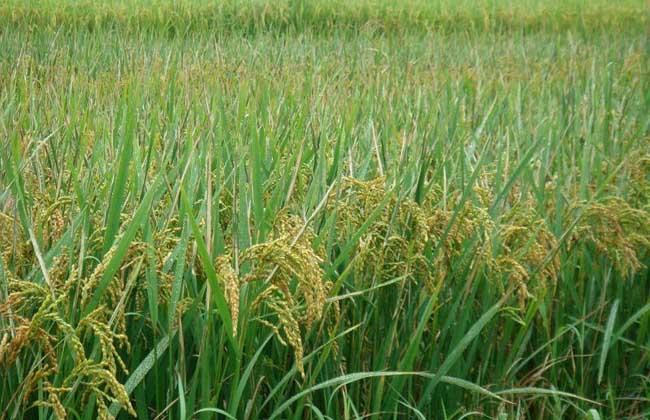 水稻种植业