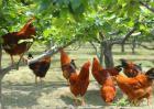 养鸡国家有补贴吗?