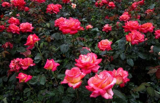 大花月季种植技术