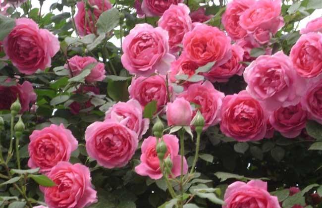 月季花品种图片大全