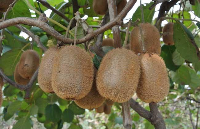 猕猴桃减肥