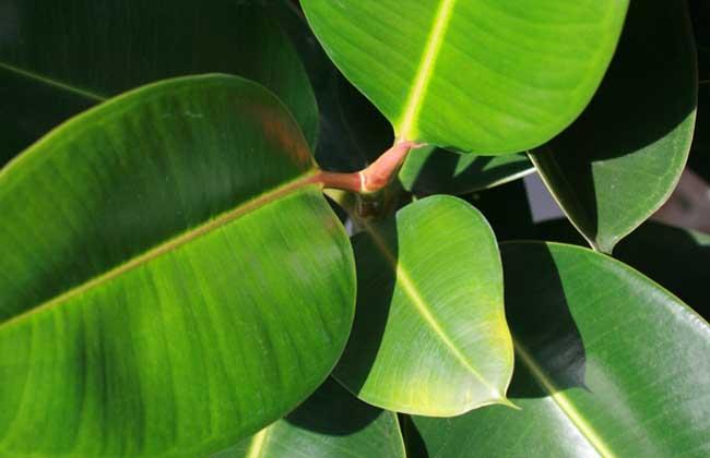 橡皮树是什么树?