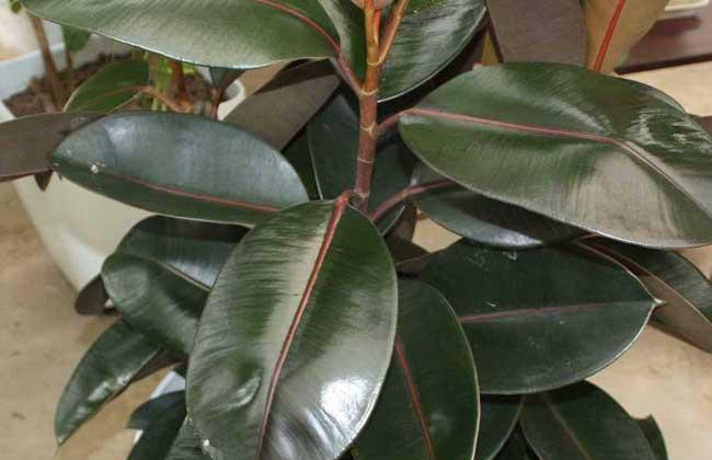 橡皮树可以水培吗?