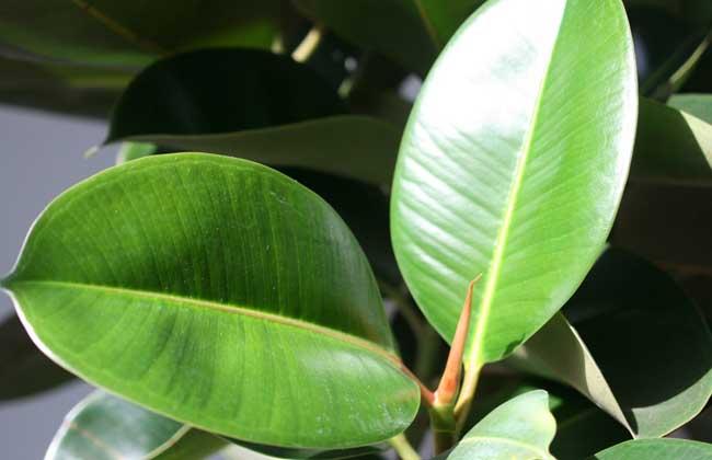 橡皮树的养殖方法