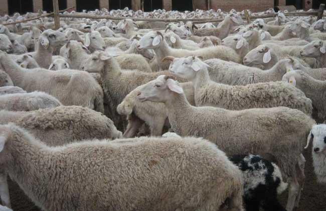 纯种小尾寒羊价格多少钱