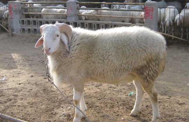 小尾寒羊养殖赚钱吗