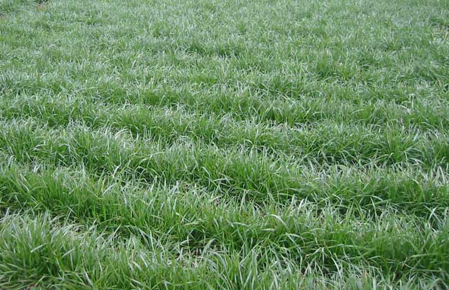 小尾寒羊牧草种植技术
