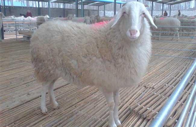 小尾寒羊圈养技术