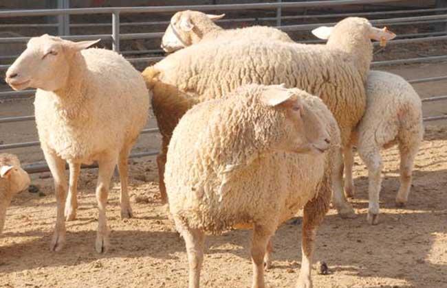 小尾寒羊是绵羊吗