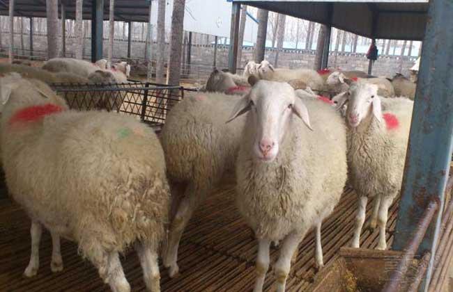 小尾寒羊养殖成本和利润