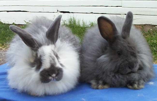 安哥拉兔多少钱一只?