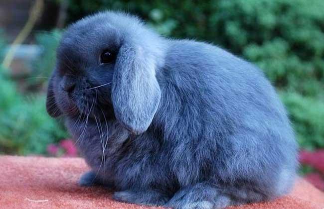 宠物兔种类图片大全