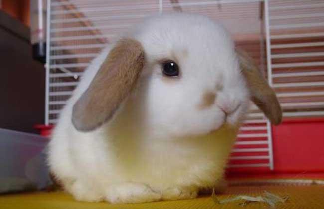 垂耳兔怎么养最好?