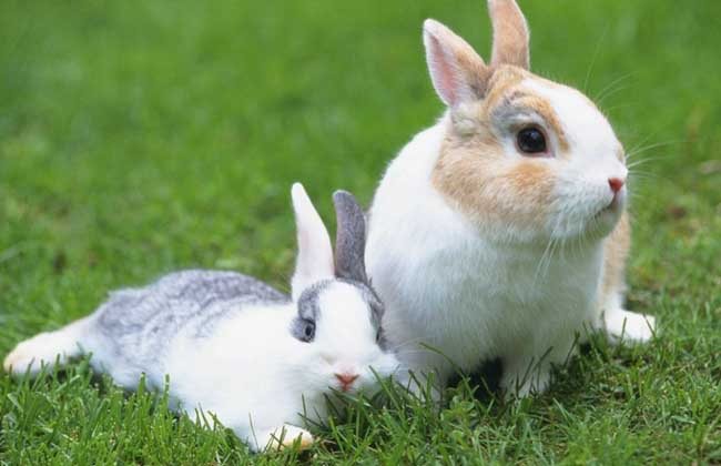 兔子的尾巴有什么作用