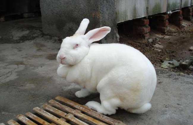 兔子饲料配方