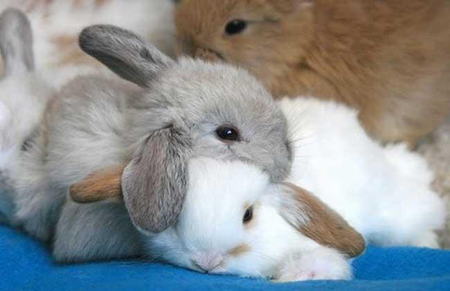 兔子种类图片大全