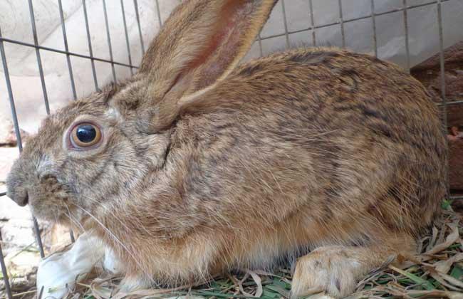 野兔价格多少钱?