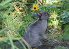 兔子不吃窝边草的意思