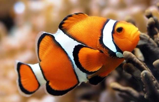 小丑鱼好养吗?