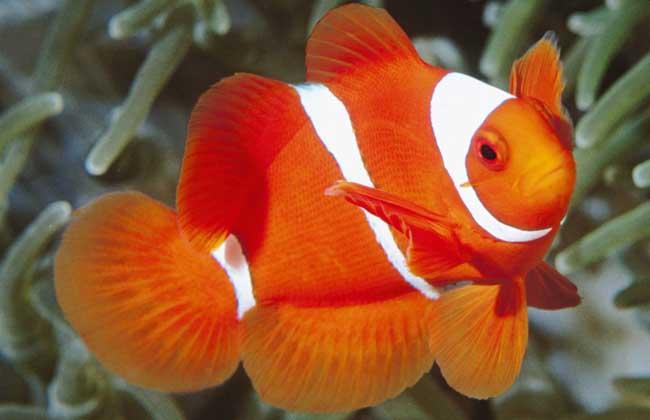 小丑鱼是什么鱼?