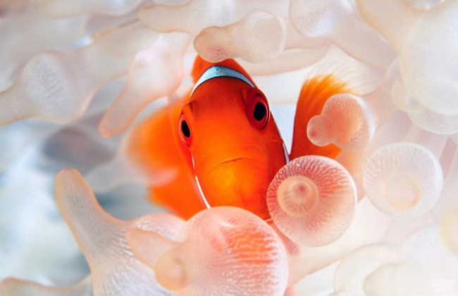 小丑鱼怎么养?