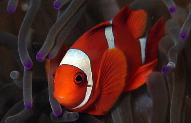 小丑鱼吃什么饲料?