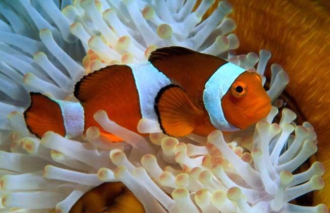 小丑鱼和什么混养