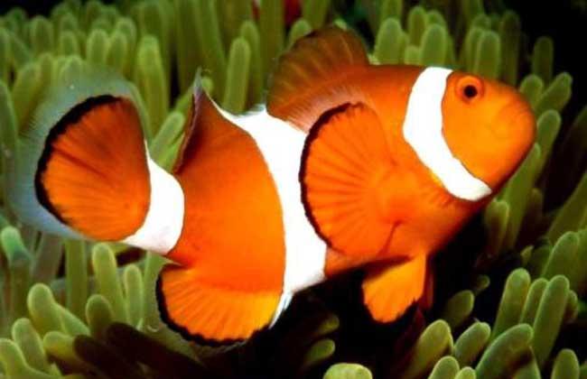 公子小丑鱼