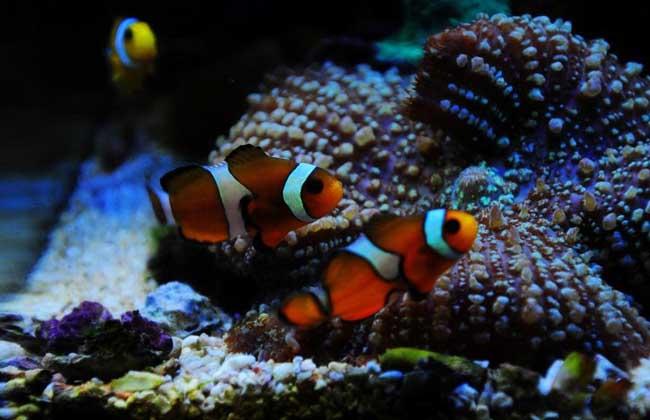 红双带小丑鱼
