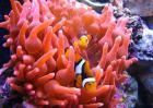 小丑鱼怎么繁殖?