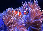 小丑鱼和海葵的关系