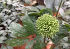 野三七是什么植物?
